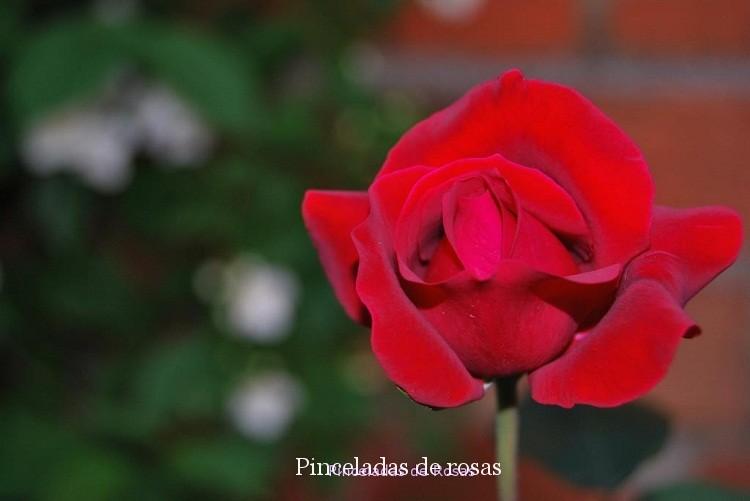 Pinceladas de Rosas